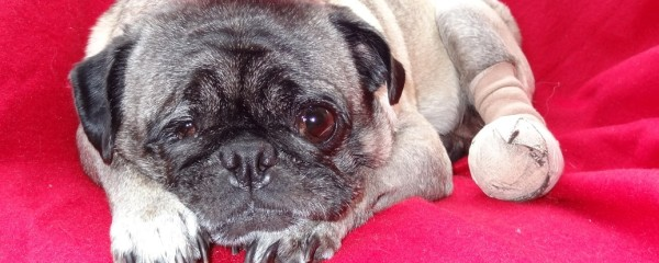 Help Pug Rescue with Rosebud's Surgery Costs